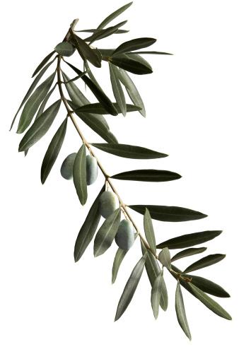 Branch - Plant Part「A dark green olive branch on a white background 」:スマホ壁紙(10)