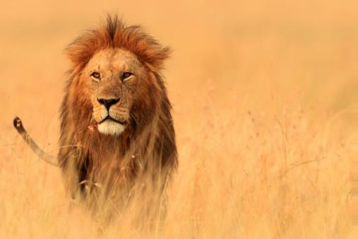 Walking「The Savannah King」:スマホ壁紙(8)