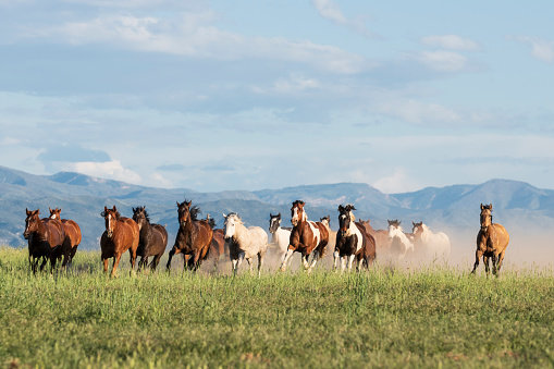 Stallion「Herd of horses galloping through American wilderness」:スマホ壁紙(15)