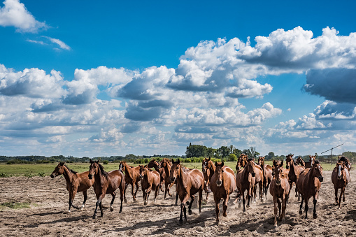 Stallion「Herd of horses galloping through Hungarian wilderness」:スマホ壁紙(0)