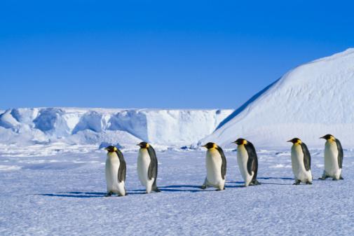 Pack Ice「Emperor penguins (Aptenodytes forsteri) traveling over pack ice」:スマホ壁紙(6)