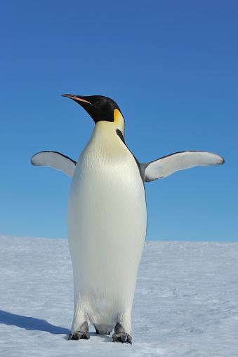 Antarctic Ocean「Emperor penguins, Aptenodytes forsteri, Adult Spreading Wings, Snow Hill Island, Antartic Peninsula, Antarctica」:スマホ壁紙(3)
