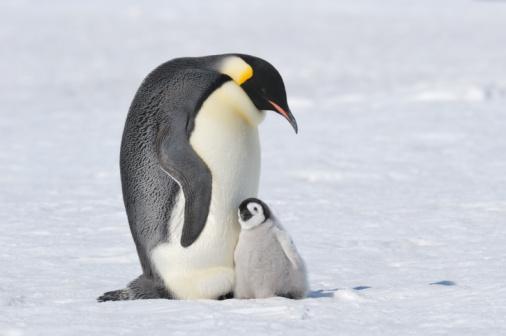 Animal Family「Emperor Penguin (Aptenodytes forsteri) familiy.」:スマホ壁紙(7)