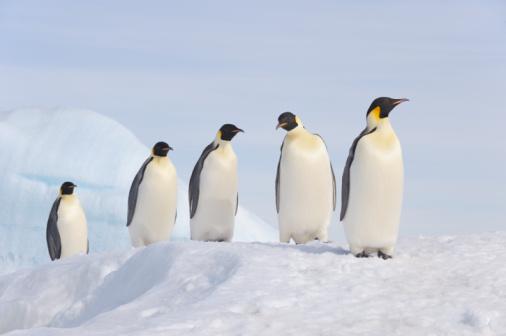 Walking「Emperor Penguin (Aptenodytes forsteri).」:スマホ壁紙(1)