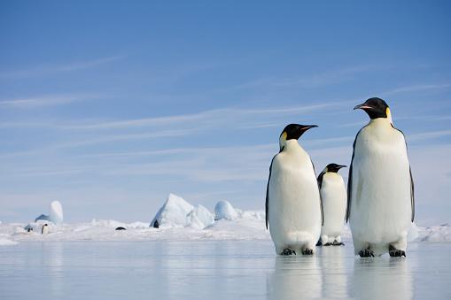 Medium Group Of Animals「Emperor Penguins in Antarctica」:スマホ壁紙(16)