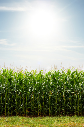 Agricultural Field「Field of corn with the sun.」:スマホ壁紙(7)