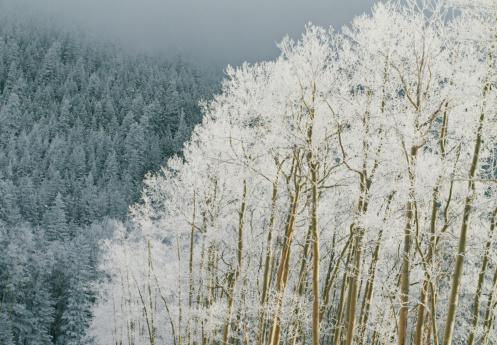 Aspen Tree「USA, New Mexico, snow and frost on American aspen trees at dusk」:スマホ壁紙(7)