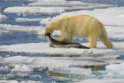 焦点「Polar bear (Ursus maritimus) dragging dead ringed seal (Phoca hispida)」:スマホ壁紙(7)