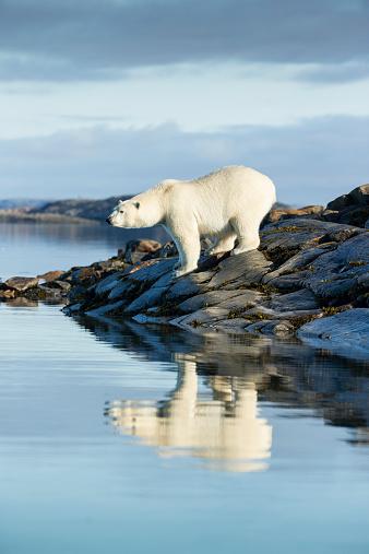 Nunavut「Polar Bear on Hudson Bay, Nunavut, Canada」:スマホ壁紙(8)