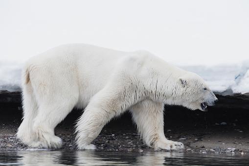 Polar Bear「Polar bear walking along the shoreline」:スマホ壁紙(19)