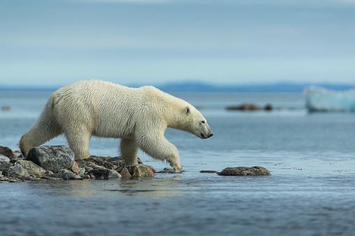 Walking「Polar Bear Enters Water of Repulse Bay, Nunavut, Canada」:スマホ壁紙(15)