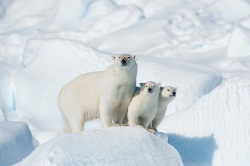 Polar Bear「Polar Bear, Ursus maritimus, Mother with Two Cubs, North East Greenland Coast, Greenland, Arctic」:スマホ壁紙(6)
