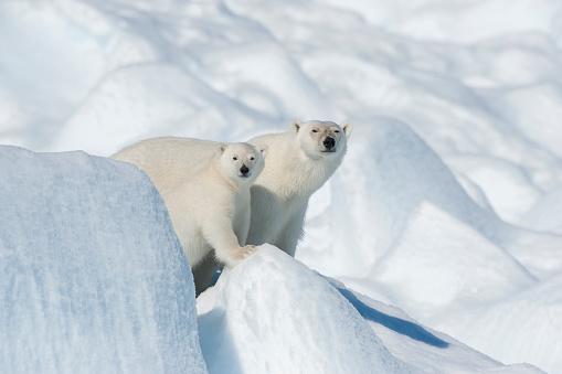 Polar Bear「Polar Bear, Ursus maritimus, Mother with Cub, North East Greenland Coast, Greenland, Arctic」:スマホ壁紙(2)