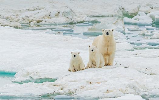 Polar Bear「polar bear, Ursus maritimus, is a carnivorous bear native largely within the Arctic Circle encompassing the Arctic Ocean. Wrangel Island,  Chukotka Autonomous Okrug, Russia. Arctic Ocean. Mother and young cubs on the snow.」:スマホ壁紙(18)