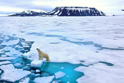 Arctic「Polar bear on pack ice」:スマホ壁紙(18)