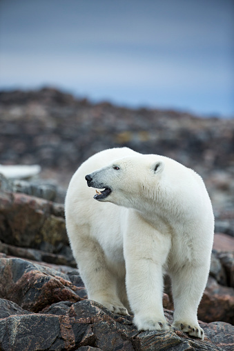 Polar Bear「Polar Bear on Harbour Islands, Hudson Bay, Nunavut, Canada」:スマホ壁紙(17)