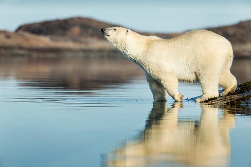 Polar Bear「Polar Bear on Harbour Islands, Hudson Bay, Nunavut, Canada」:スマホ壁紙(16)
