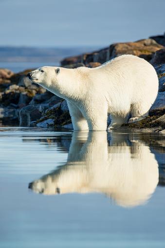Polar Bear「Polar Bear on Harbour Islands, Hudson Bay, Nunavut, Canada」:スマホ壁紙(9)