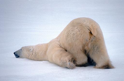 Making A Face「Polar bear sticking its behind in the air」:スマホ壁紙(16)