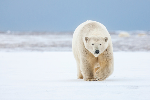 Walking「Polar bear」:スマホ壁紙(9)