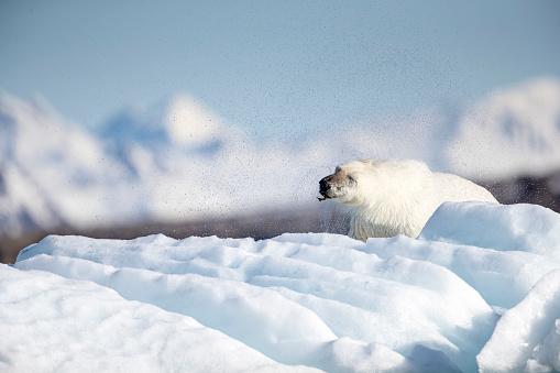 Pack Ice「Polar bear (Ursus maritimus), Krossfjorden, Svalbard and Jan Mayen, Norway」:スマホ壁紙(13)