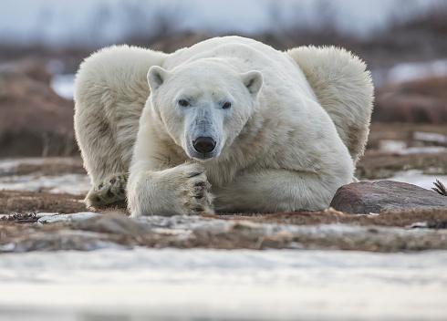Polar Bear「Polar bear on the coast of Hudson Bay waiting for the bay to freeze over, Manitoba, Canada」:スマホ壁紙(13)