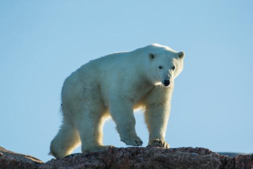 Polar Bear「Polar Bear along Repulse Bay, Nunavut, Canada」:スマホ壁紙(10)