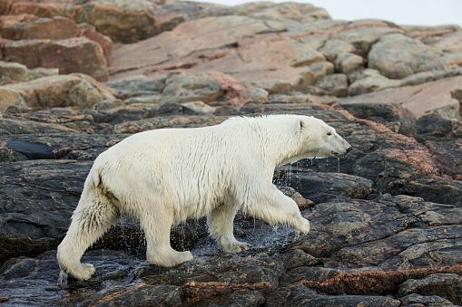 Polar Bear「Polar Bear Walking along Hudson Bay, Nunavut, Canada」:スマホ壁紙(4)