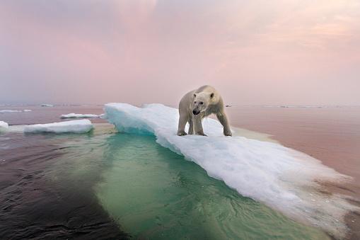 Climate Change「Polar Bear, Hudson Bay, Canada」:スマホ壁紙(15)
