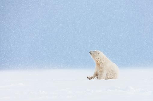 Polar Bear「Polar bear cub in falling snow.」:スマホ壁紙(12)
