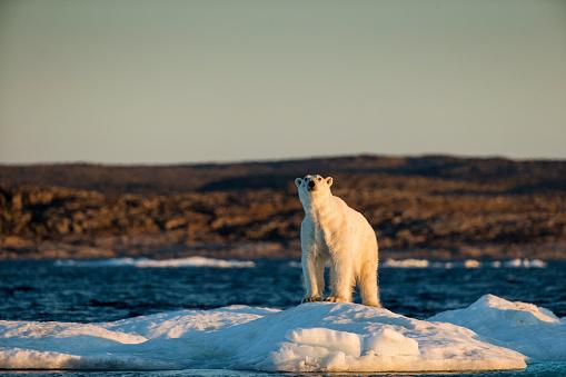 Nunavut「Polar Bear on Melting Sea Ice, Nunavut, Canada」:スマホ壁紙(18)