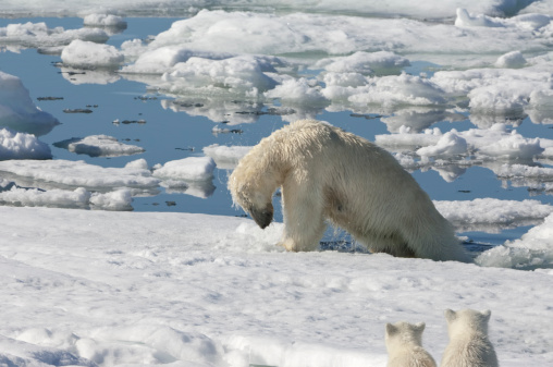 Pack Ice「Polar bear」:スマホ壁紙(19)