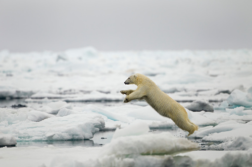 Walking「Polar Bear, Svalbard, Norway」:スマホ壁紙(15)