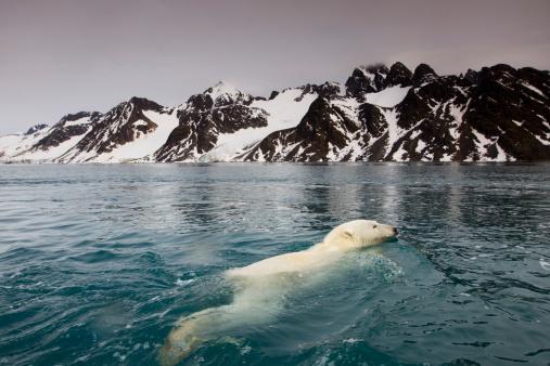 Polar Bear「Polar Bear, Svalbard, Norway」:スマホ壁紙(8)