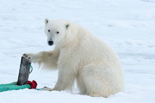 Polar Bear「Polar Bear」:スマホ壁紙(2)