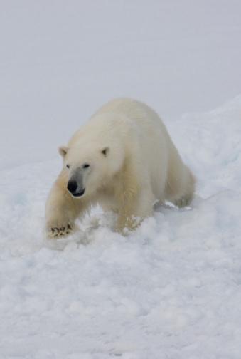 Polar Bear「Polar Bear」:スマホ壁紙(7)