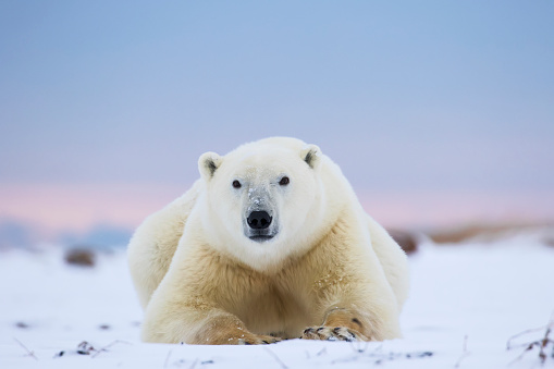 Polar Bear「Polar bear (ursus maritimus) along the Hudson Bay coastline waiting for the bay to freeze over」:スマホ壁紙(3)