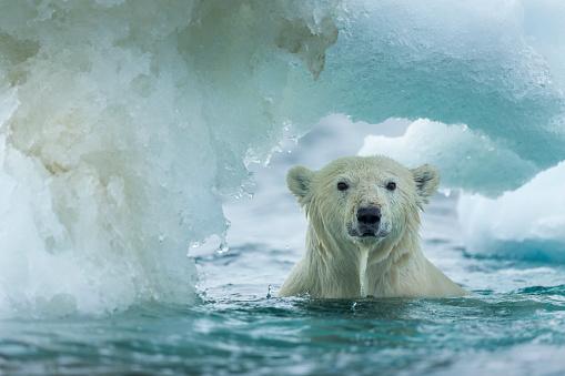 Nunavut「Polar Bear, Repulse Bay, Nunavut, Canada」:スマホ壁紙(13)