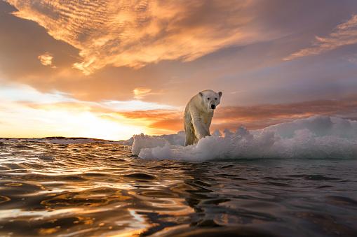 Climate Change「Polar Bear, Repulse Bay, Nunavut, Canada」:スマホ壁紙(8)
