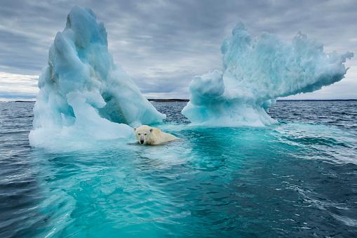 Nunavut「Polar Bear, Repulse Bay, Nunavut, Canada」:スマホ壁紙(10)