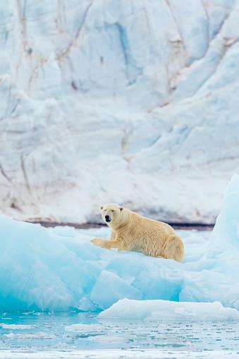 Polar Bear「Polar bear on an iceberg」:スマホ壁紙(5)