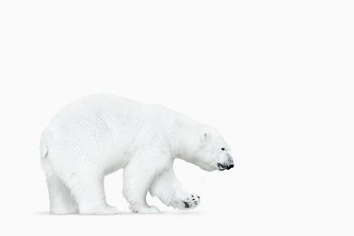Walking「Polar bear walking on white background」:スマホ壁紙(4)