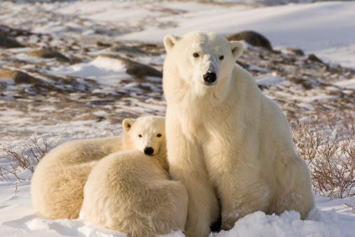 Polar Bear「Polar bear family.」:スマホ壁紙(7)