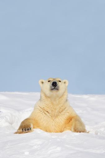 Polar Bear「Polar Bear (Ursus Maritimus) Sticking It's Head And Chest Out Of A Den At Wapusk National Park」:スマホ壁紙(13)