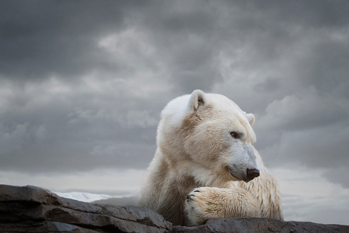 Rare「Polar Bear in Naturalistic Setting」:スマホ壁紙(8)