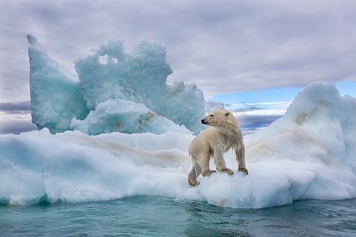 Pack Ice「Polar Bear on Sea Ice in Hudson Bay, near Repulse Bay, Nunavut, Canada」:スマホ壁紙(11)