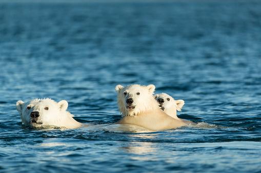 Polar Bear「Polar Bear Cubs Swimming, Hudson Bay, Nunavut, Canada」:スマホ壁紙(12)