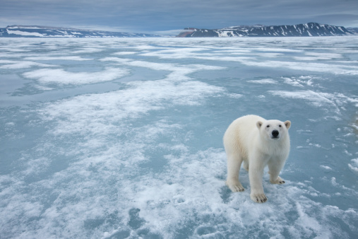 Polar Bear「Polar Bear, Nordaustlandet, Svalbard, Norway」:スマホ壁紙(5)