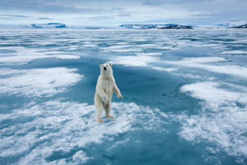 Climate Change「Polar Bear, Nordaustlandet, Svalbard, Norway」:スマホ壁紙(11)