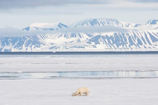 Polar Bear「Polar Bear and Cubs on Arctic Sea Ice」:スマホ壁紙(6)